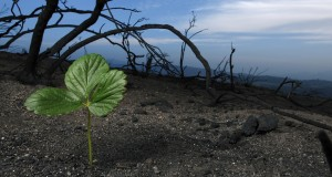 New life represented by one plant thriving in burnt land. Photo by stock images.