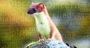 A weasel. Photo by Cecil Sanders.
